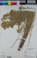 Hymenoxys rusbyi image