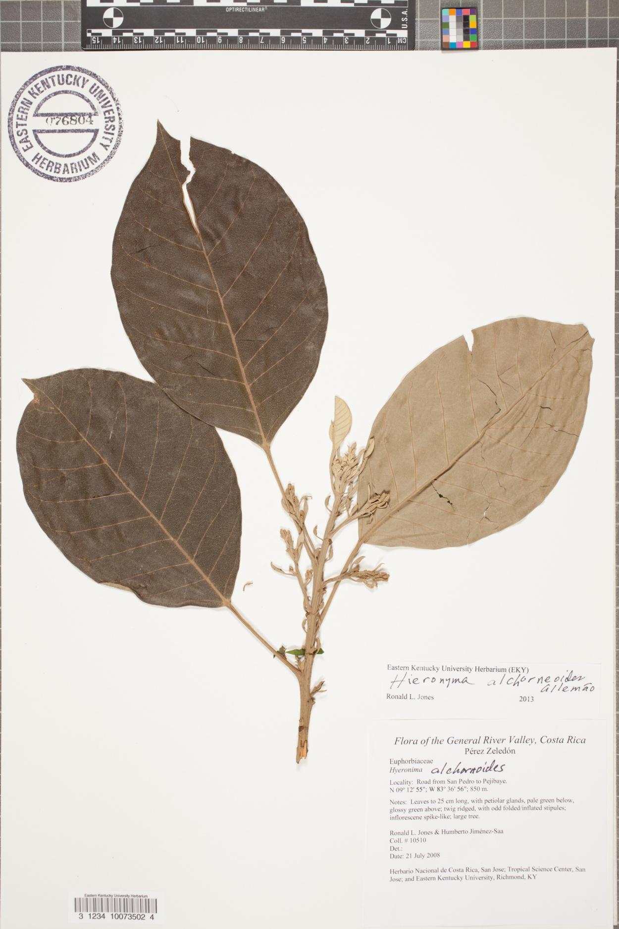 Hieronyma alchorneoides image
