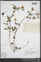 Clematis texensis image