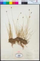Carex illota image