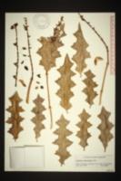 Acanthus ebracteatus image