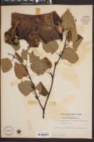 Betula papyrifera var. cordifolia image