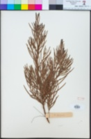 Image of Acacia elongata