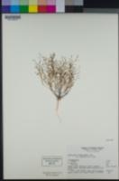 Nemacladus orientalis image