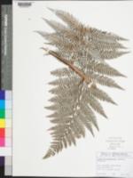 Image of Lophosoria quadripinnata