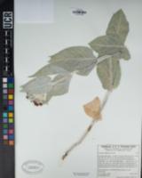Asclepias californica image