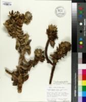 Image of Lychnophoriopsis damazioi