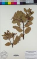 Arctostaphylos manzanita subsp. elegans image