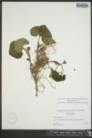 Asarum reflexum image