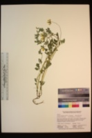 Hosackia oblongifolia var. oblongifolia image