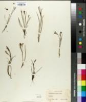 Image of Sisyrinchium canbyi