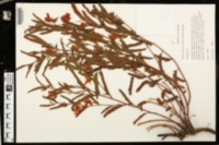 Image of Chamaecrista deeringiana