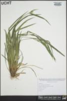 Carex kraliana image