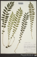 Lomariopsis kunzeana image