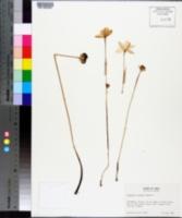 Image of Cooperia traubii