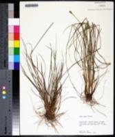 Carex tenax image