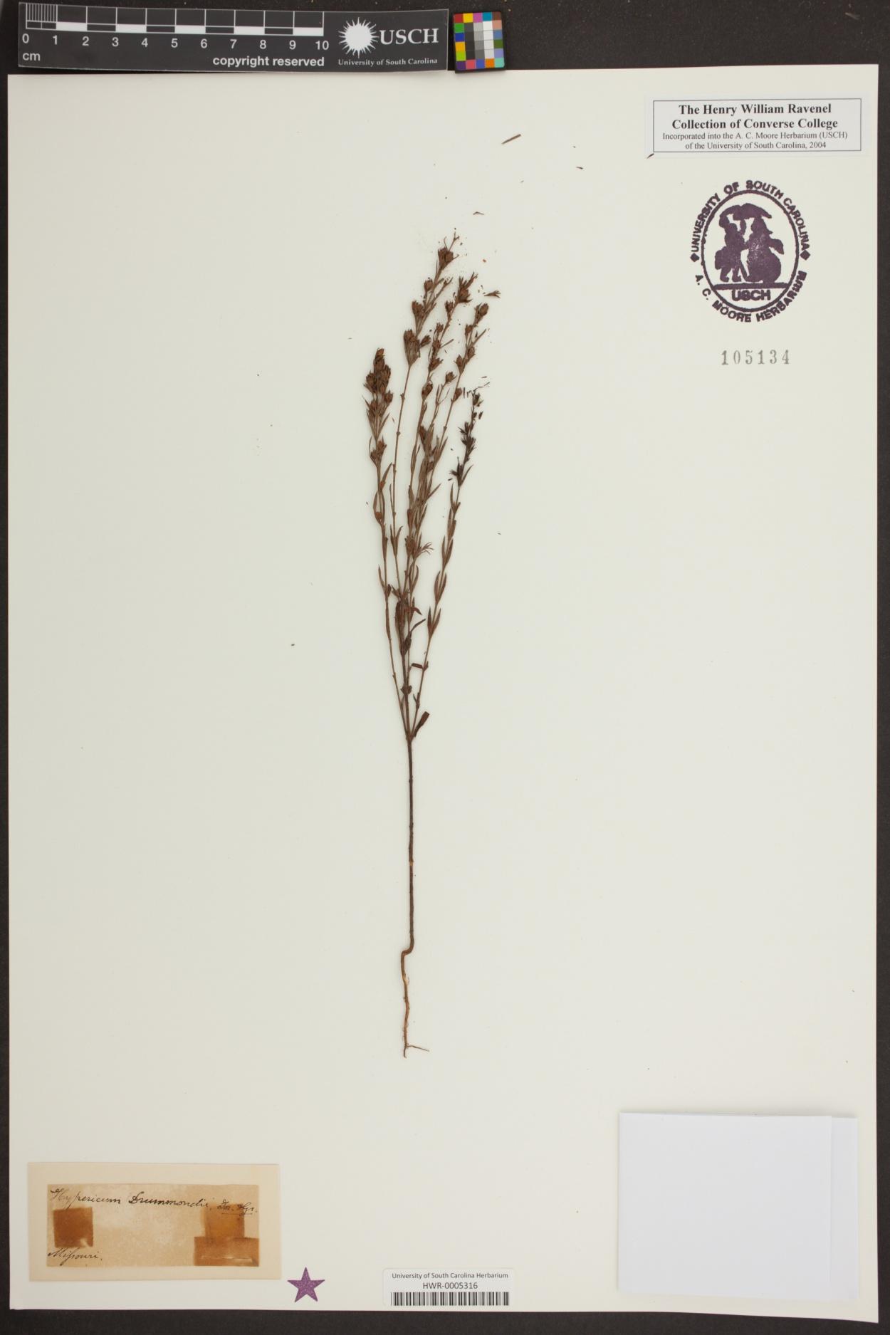 Hypericum drummondii