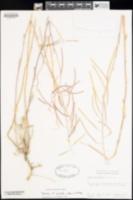 Image of Boechera xylopoda