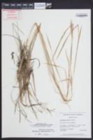 Andropogon perangustatus image