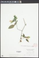 Image of Justicia brandegeeana