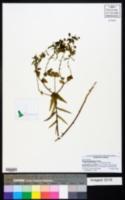 Euphorbia floridana image