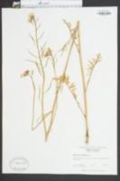 Brassica erucastrum image