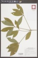 Image of Actinodaphne pilosa