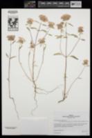 Image of Monardella lanceolata