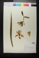 Image of Yucca reverchonii