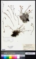 Image of Eriogonum purpusii