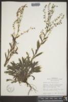 Image of Hackelia setosa