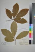 Image of Castanea ozarkensis