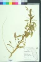 Image of Amaranthus australis