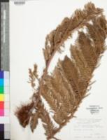 Image of Cyathea macgregorii