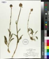 Phyteuma orbiculare image