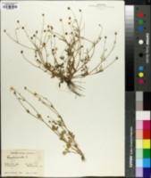 Image of Ranunculus parvulus