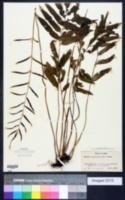 Image of Bolbitis heudelotii