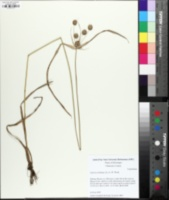 Cyperus echinatus image