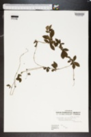 Image of Potentilla procumbens