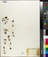 Erophila verna image