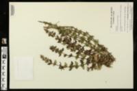 Image of Clinopodium georgianum