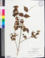 Image of Viburnum rafinesqueanum
