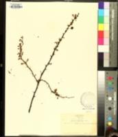 Berberis microphylla image