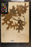 Quercus coccinea image