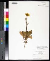 Pyrrhopappus grandiflorus image