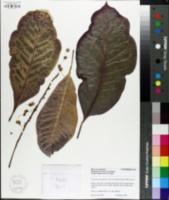 Image of Codiaeum variegatum