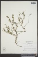 Image of Matelea sagittifolia