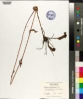 Helianthus heterophyllus image