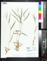 Image of Dichanthelium villosissimum