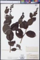 Baptisia simplicifolia image